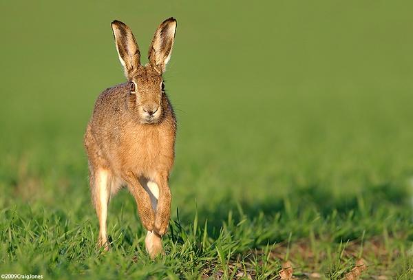 Running Hare by CraigJones