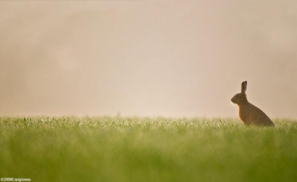 Misty Morning - Hare by CraigJones