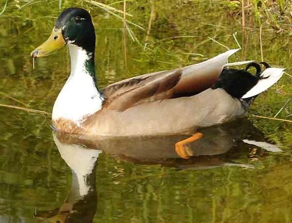 Ducky by burd