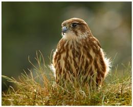 Merlin (C) female backlit