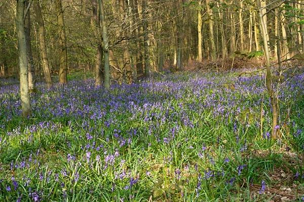 Bluebell Wood by steveb