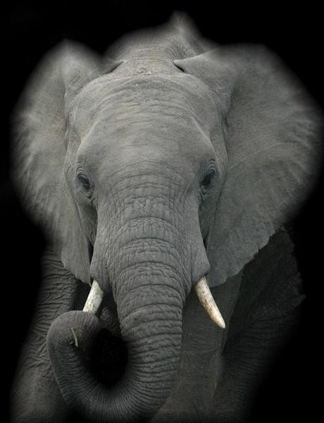 Art Elephant by GT_Steel