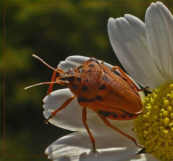 red shield bug by CarolG