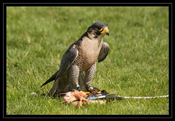 Peregrine Falcon (Falco peregrinus) by GaryR