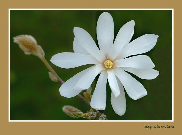 Magnolia stellata by BobA