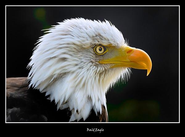 Bald Eagle by BobA