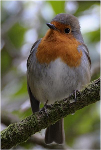 Robin by Ian Hunter