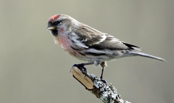 Male Redpoll by Birdyian