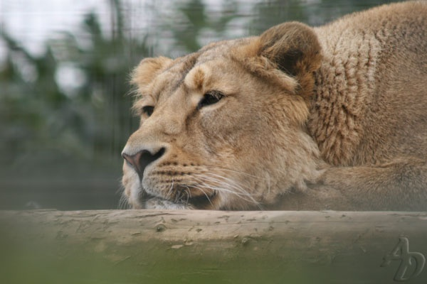 Lioness by 890andy