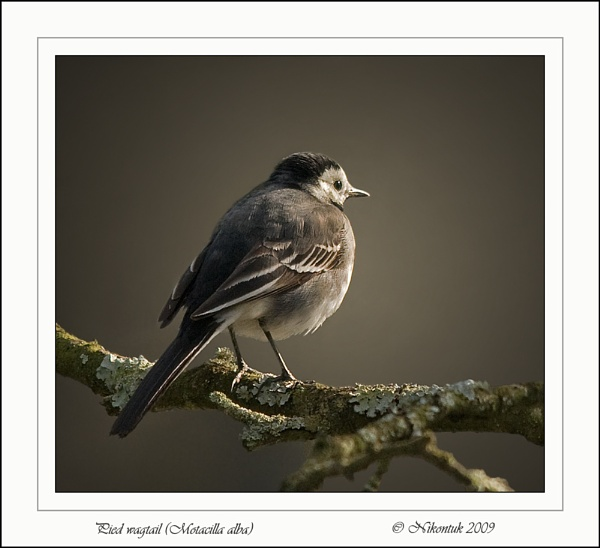 Pied Wagtail by FeatherFriend