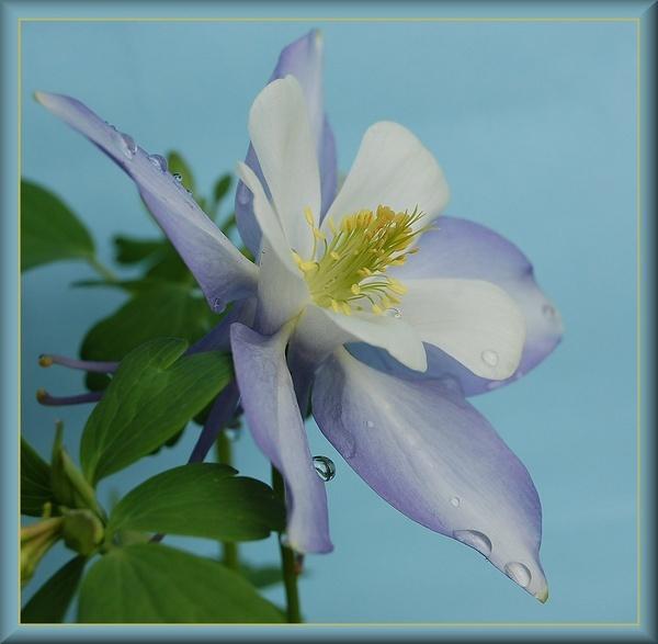 Lavender blue by CherryMartin