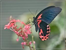 Postman Butterfly(Heliconius Melpomene)
