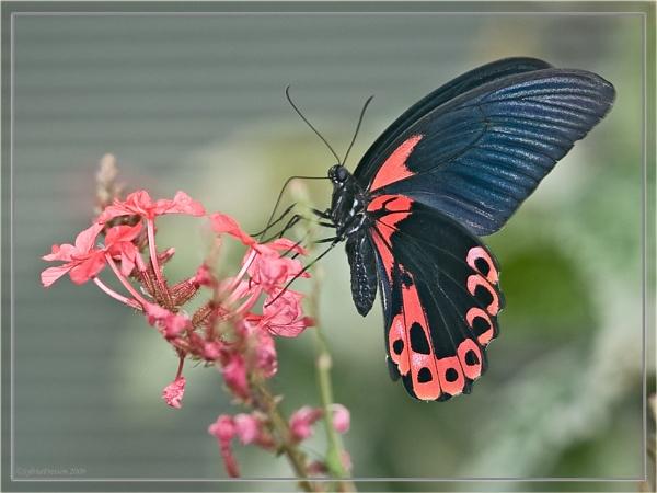Postman Butterfly(Heliconius Melpomene) by teocali