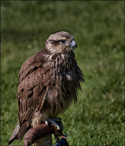 hawk by ducatifogarty