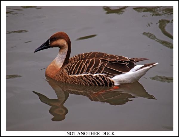 Not another duck by BERTRAM