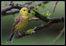 Yellow Hammer -  Emberiza Citrinella