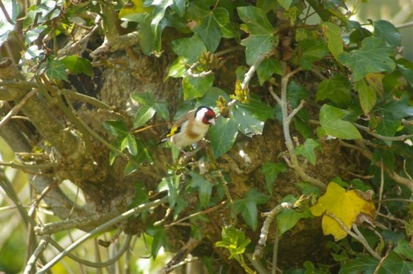 Goldfinch by Hosking