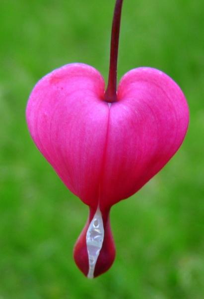 Bleeding heart by Rhodes6949