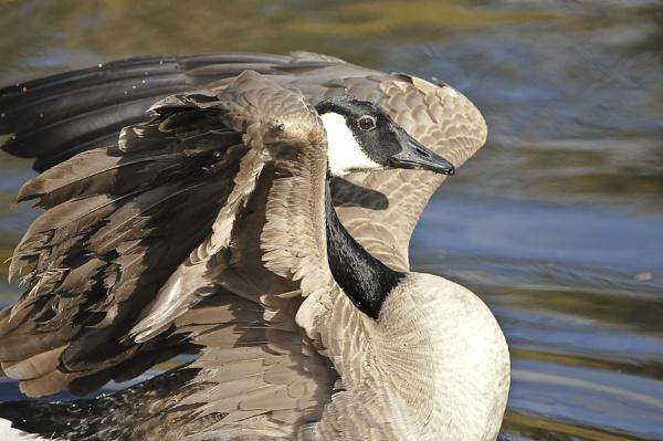 goose by Rorymac