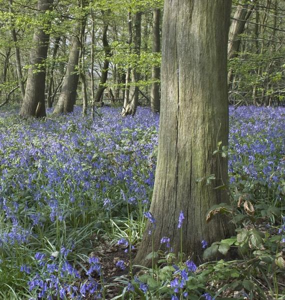 Bluebells Meopham by derekhansen