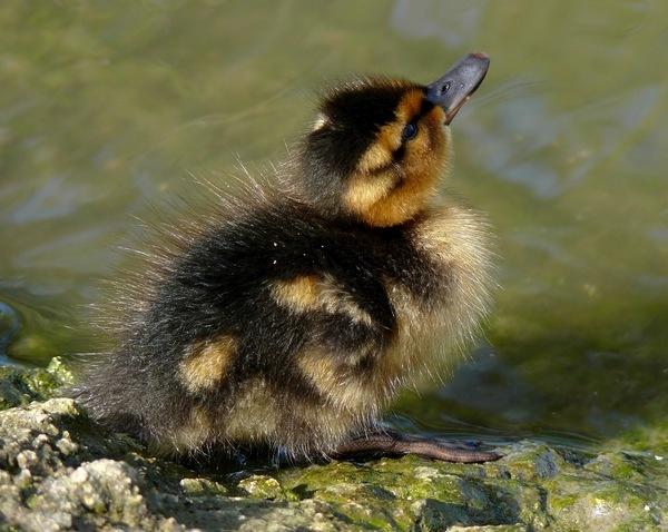 Duckling by gonedigital62