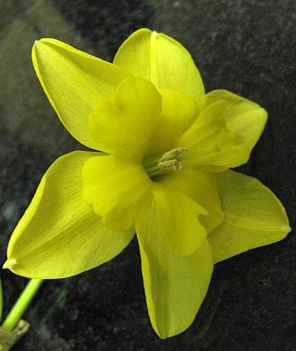 Daffodil by grockleJB