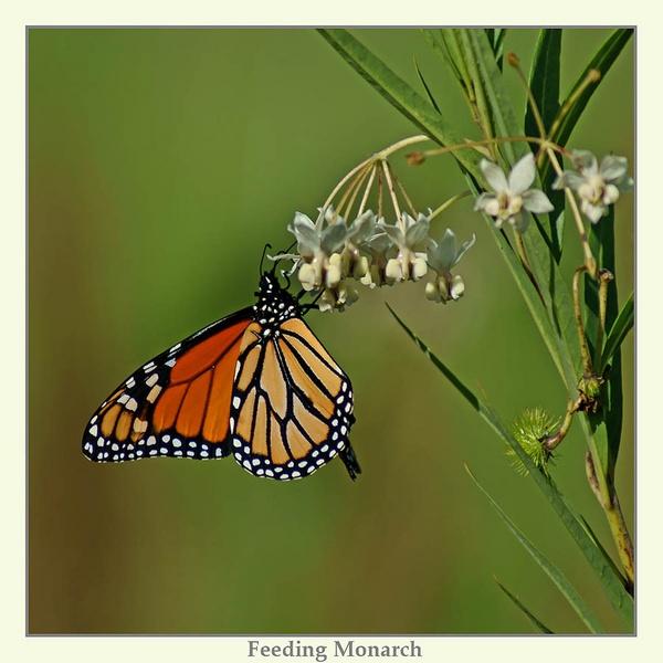 Feeding Monarch by Joeblowfromoz