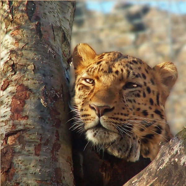 Leopard by MB63