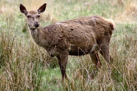 Deer by mikaela4