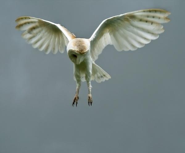 Barn Owl, re-worked. by paulrosser