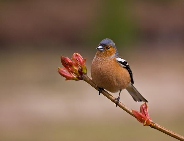 Male Chaffinch by paulrosser