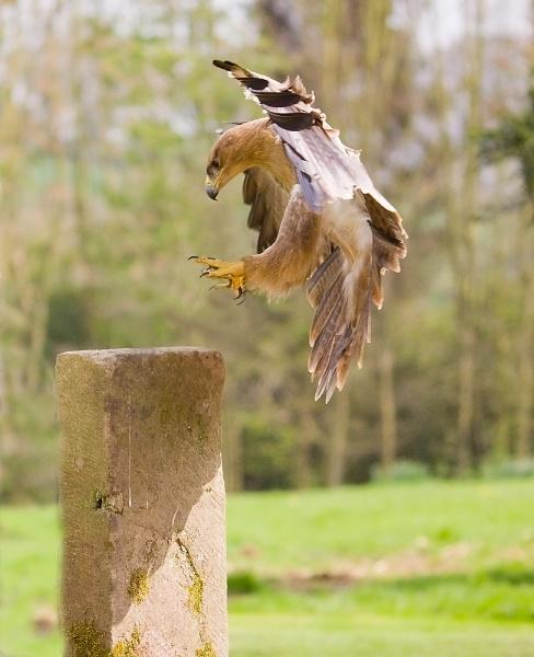 Tawny Eagle (C) by paulrosser