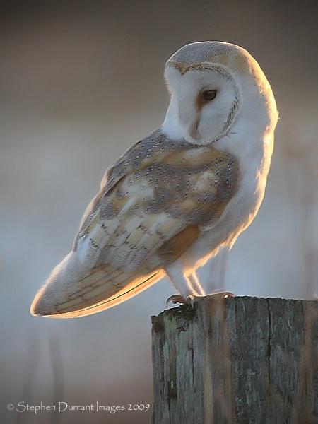 Evening Owl by StephenDurrant