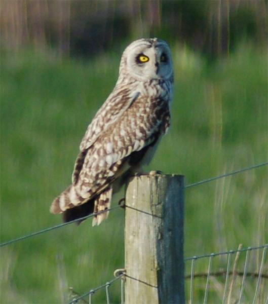 Short Eared Owl by IOWAndy