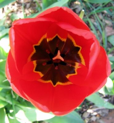 red tulip by EMJAYCEE