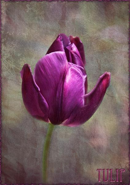 Tulip by Mari
