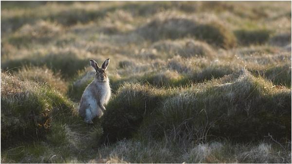 Mountain Hare by ian.daisley