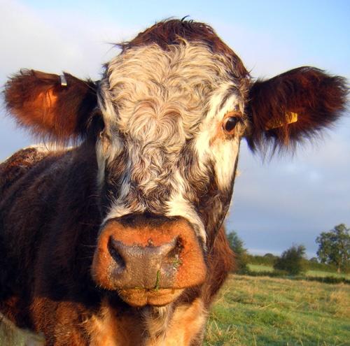 Bullock by oldbiddy