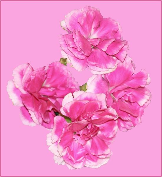 Pinky by Artois