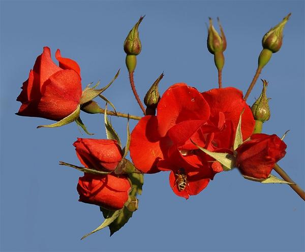 Roses (plus wasp!) by LindaSilcock