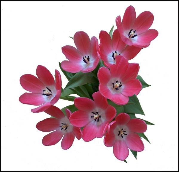 Sunday\'s Tulips by LindaSilcock