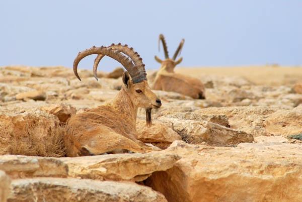 Ibex by sepulturek