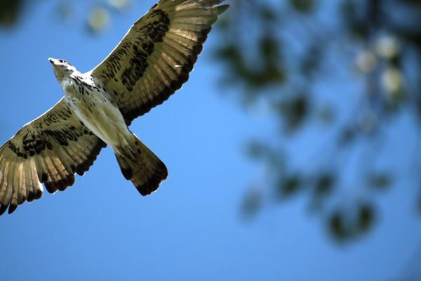 Eagle overhead by netsukekoi