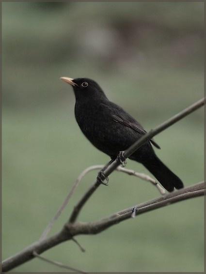 Male blackbird by Mikelane