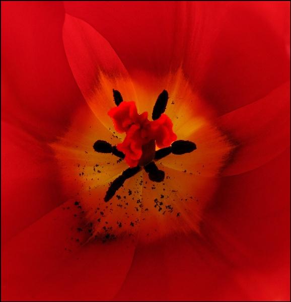 Tulip by derekv