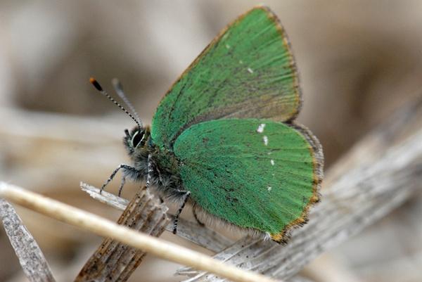 Green Hairstreak by Birdyian