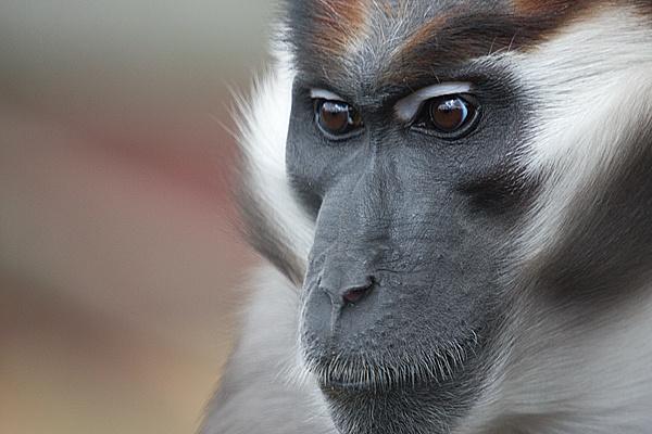 Mangabey Monkey by duncanamps