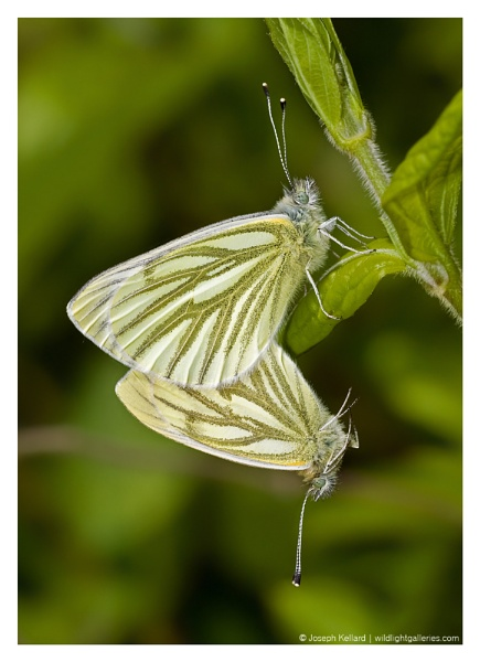 Mating Green-veined Whites by WildLight