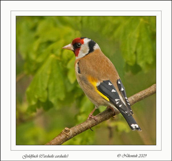 Goldfinch 3 by FeatherFriend