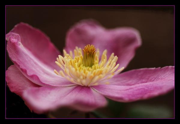 purple beauty by dwarf